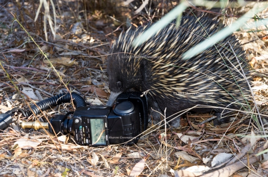 Echidna visiting this afternoon.