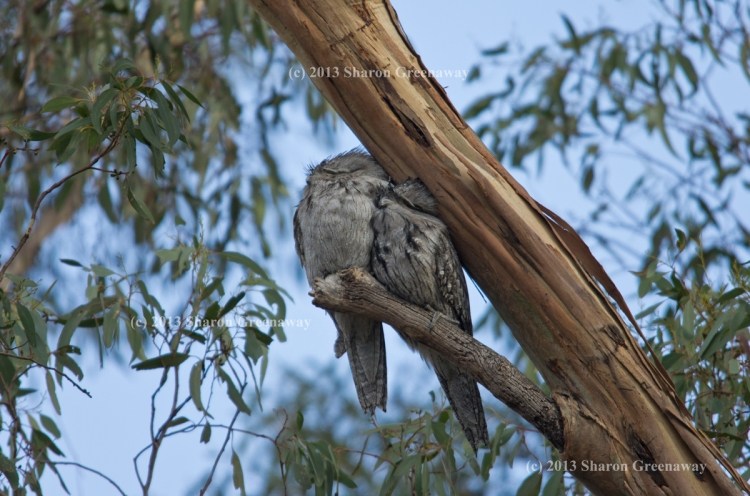 Tawny Frogmouth are back