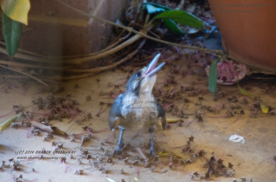 Young Grey Butcherbird tries to keep cool