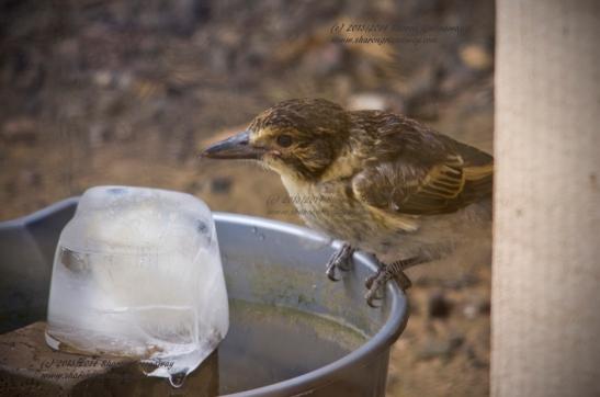 Grey Butcherbirds' behaviour in the Heatwave
